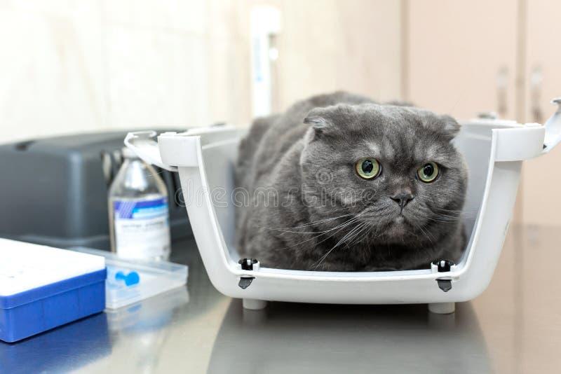 恼怒的蓬松灰色猫等候招待会在坐在宠物载体的一个兽医诊所的兽医 在狩医的考试 库存图片