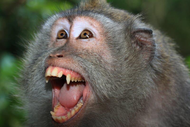 恼怒的长的猴子盯梢了通配 免版税图库摄影