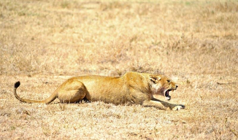 恼怒的雌狮 免版税图库摄影