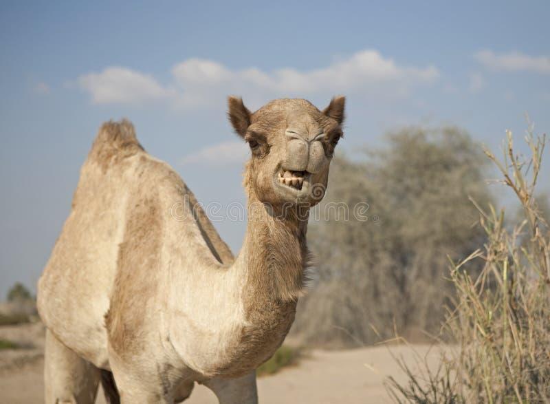 恼怒的骆驼 图库摄影