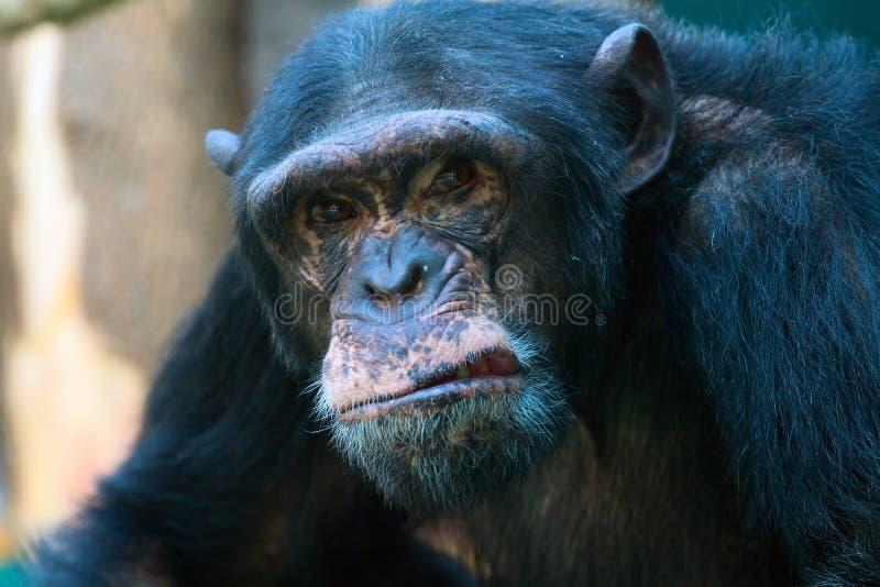 恼怒的黑猩猩特写镜头 库存图片