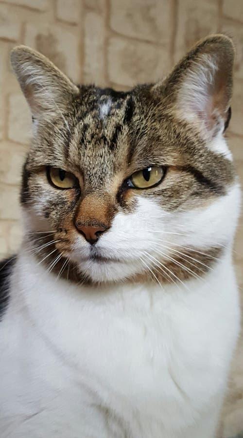 您猫设计欧洲的图象 免版税库存照片