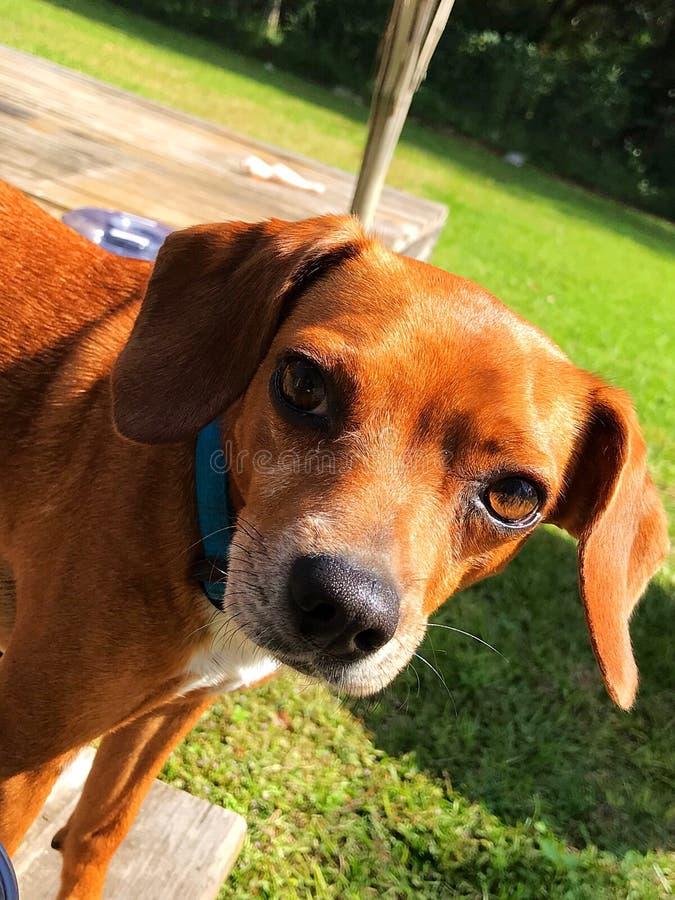 您能看到在的智力狗眼睛 库存照片