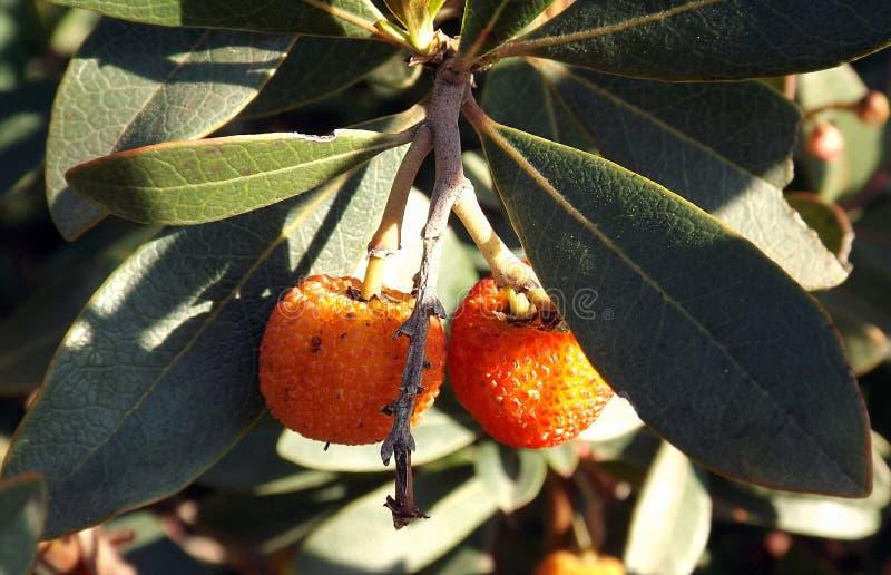 悬钩子属植物Rosifolius杂种 免版税图库摄影