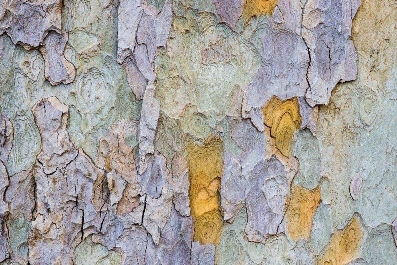 悬铃树吠声在伦敦公园 免版税库存图片