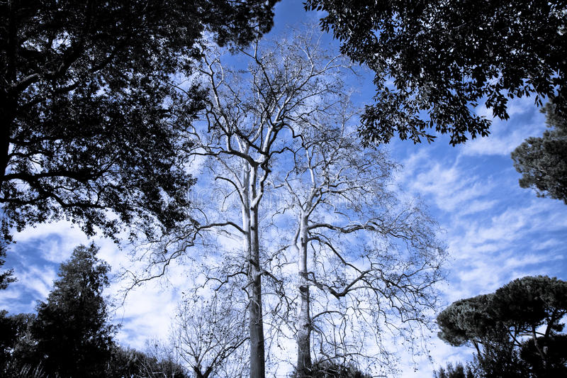 悬铃树在意大利公园 免版税库存图片
