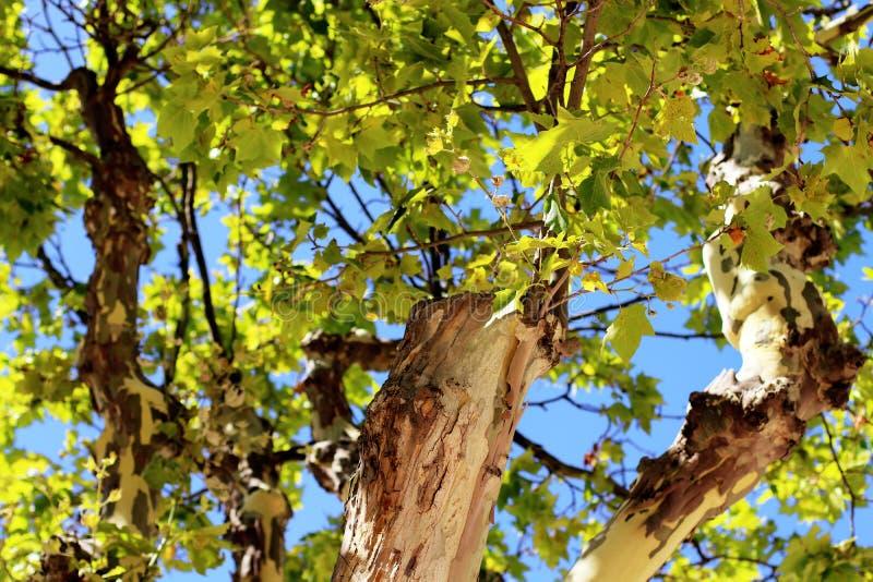 悬铃树地方des Lices圣特罗佩法国 库存照片
