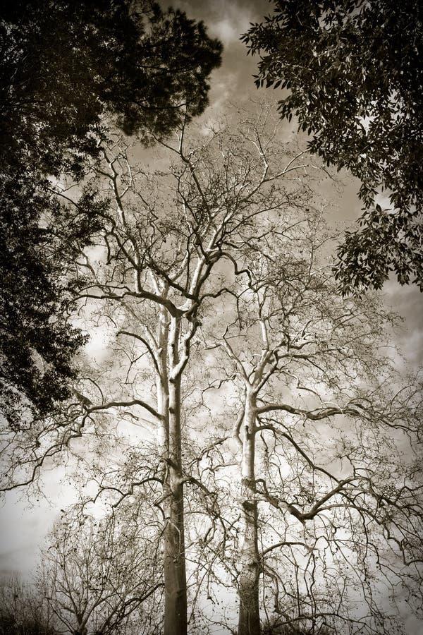 悬铃树 图库摄影