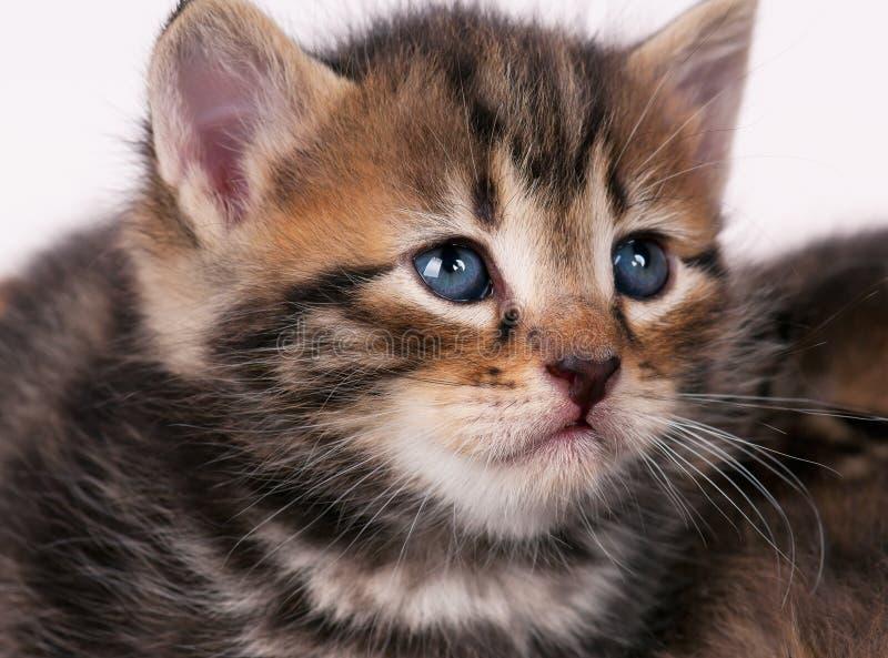 悲伤的西伯利亚小猫 免版税图库摄影