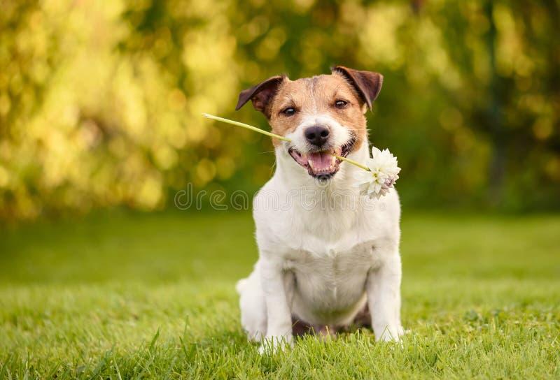 情人节与拿着在嘴的愉快的狗的贺卡白花 图库摄影