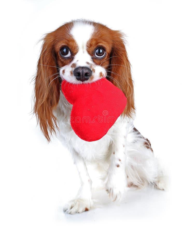 情人节照片 狗与听见 与长毛绒sof心脏的小狗 华伦泰` s天西班牙猎狗 早年初恋 逗人喜爱的国王查尔斯 免版税库存照片