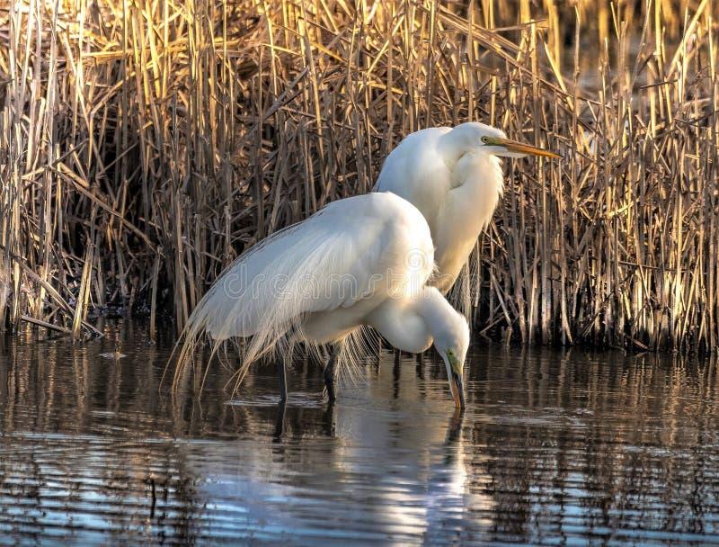 惊人伟大的白色白鹭日出 图库摄影