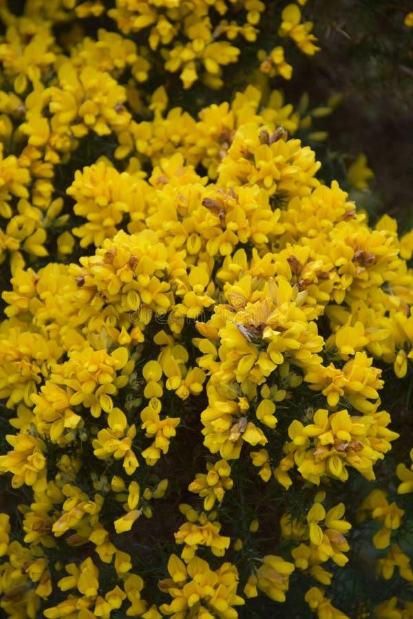 惊人发芽的和开花的黄色金雀花布什在英国 免版税库存图片