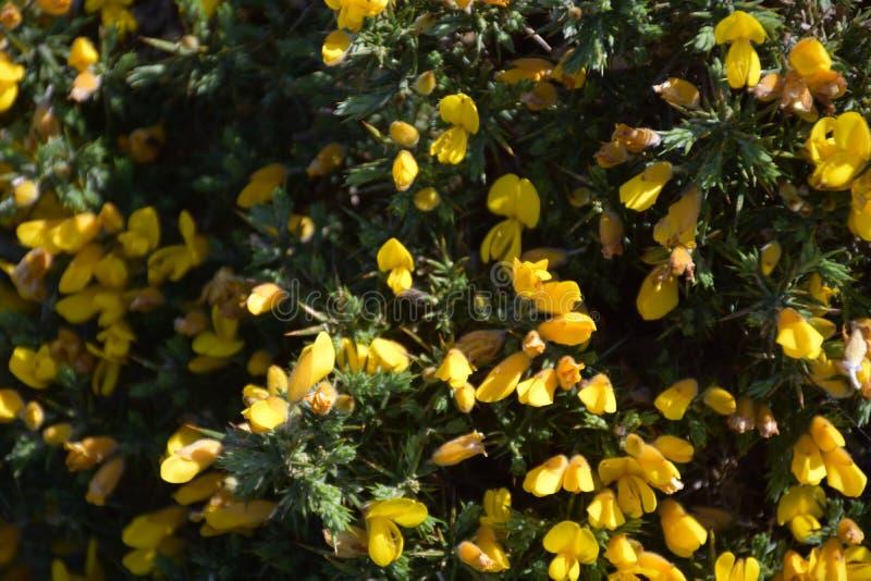 惊人开花的黄色金雀花布什在约克夏英国 免版税图库摄影