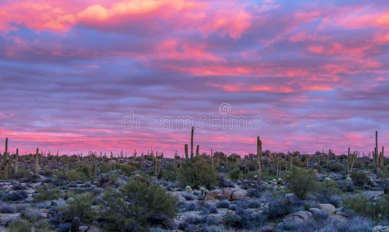 惊人日落用在褐色大农场trailhead附近的柱仙人掌仙人掌在斯科茨代尔,亚利桑那 免版税库存图片