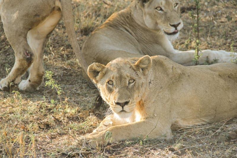惊人气喘雌狮特写镜头画象,克留格尔国家公园,南非 免版税库存图片