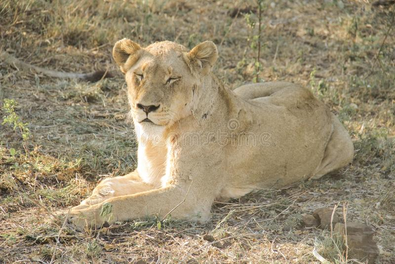 惊人气喘雌狮特写镜头画象,克留格尔国家公园,南非 免版税库存照片