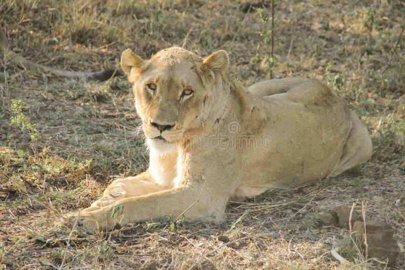 惊人气喘雌狮特写镜头画象,克留格尔国家公园,南非 免版税图库摄影