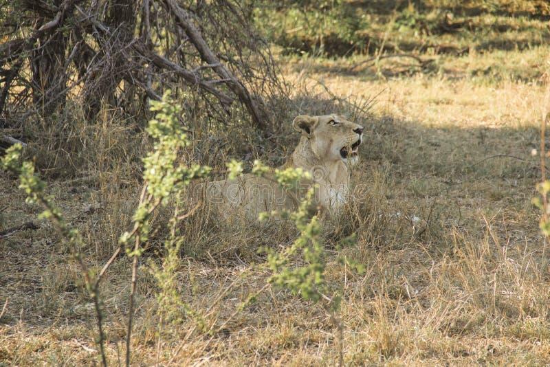 惊人气喘雌狮特写镜头画象,克留格尔国家公园,南非 库存图片