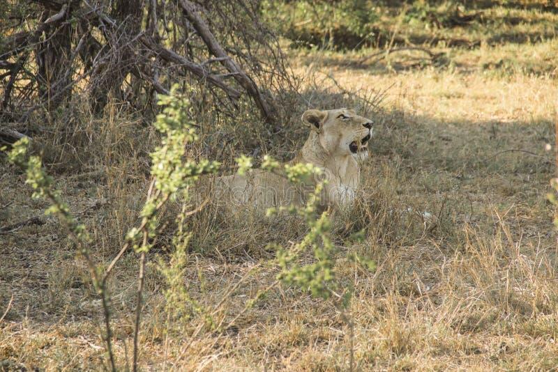 惊人气喘雌狮特写镜头画象,克留格尔国家公园,南非 图库摄影