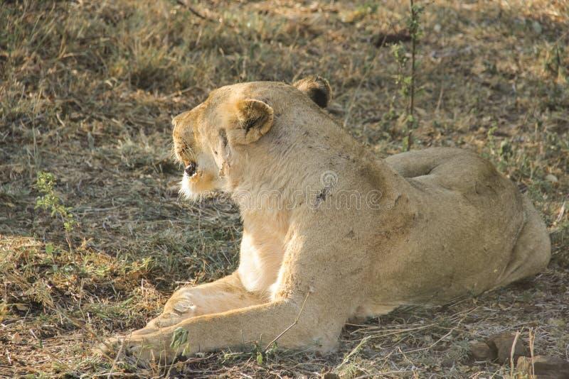 惊人气喘雌狮特写镜头画象,克留格尔国家公园,南非 库存照片