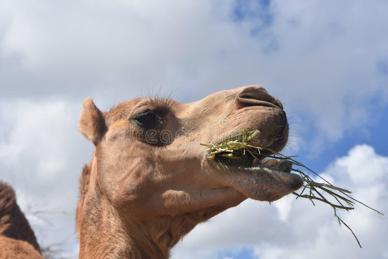 惊人照片骆驼嚼 库存照片
