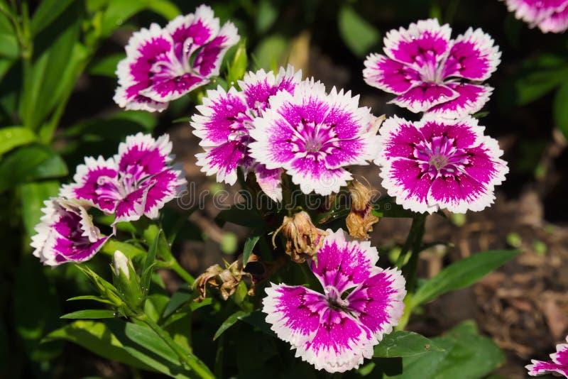 惊人生长在泰国庭院里的美丽的紫色和白花停放 库存图片