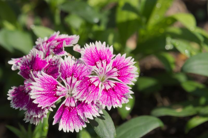 惊人生长在泰国庭院里的美丽的紫色和白花停放 免版税图库摄影