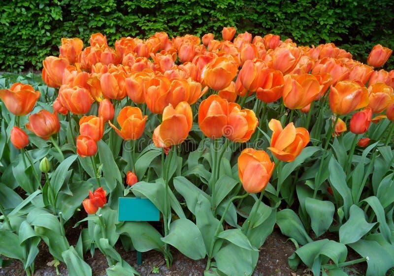 惊人的充满活力的橙色在Keukenhof的颜色开花的郁金香花 免版税库存图片