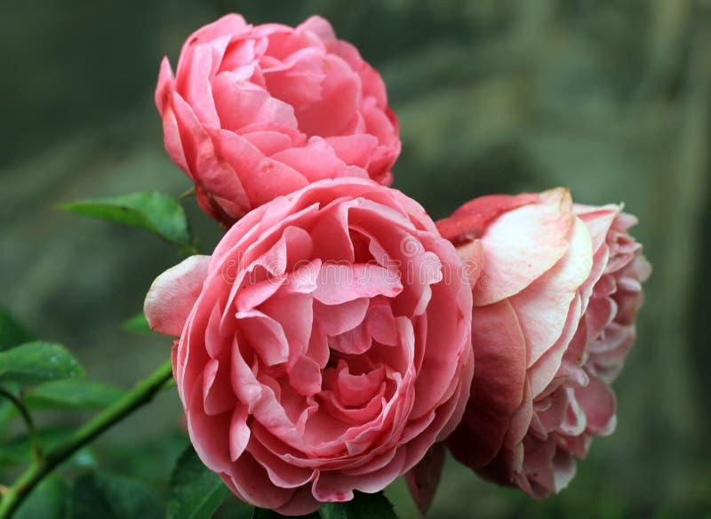 惊人的宏观普遍的庭院桃红色罗斯 免版税图库摄影