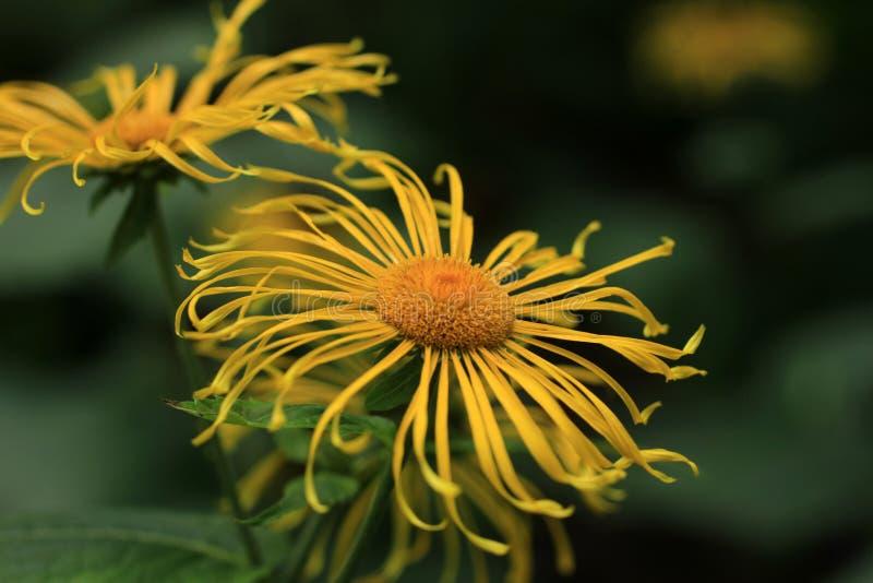 惊人的宏观普遍的庭院黄色花 免版税库存照片