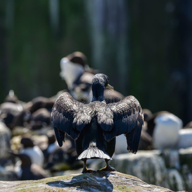 惊人的嵌套粗毛鸬鹚鸟鸬鹚亚里士多德 免版税图库摄影