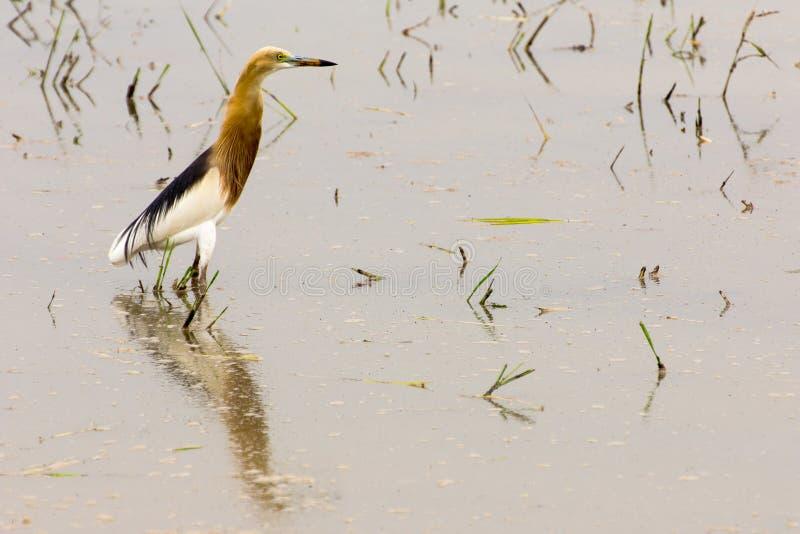 惊人的爪哇池塘苍鹭(Ardeola speciosa) 库存照片