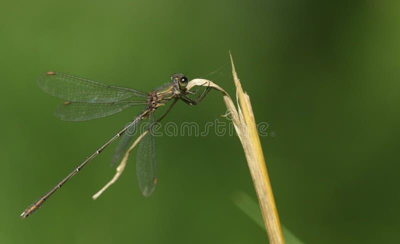 惊人的罕见的杨柳鲜绿色蜻蜓Chalcolestes viridis在草词根栖息 免版税库存图片