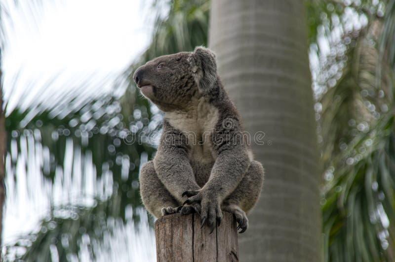 惊人的考拉在树选址 库存图片