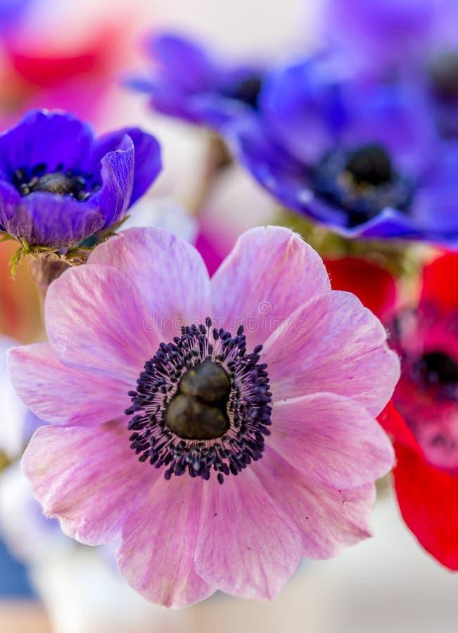 惊人的银莲花属 免版税库存照片