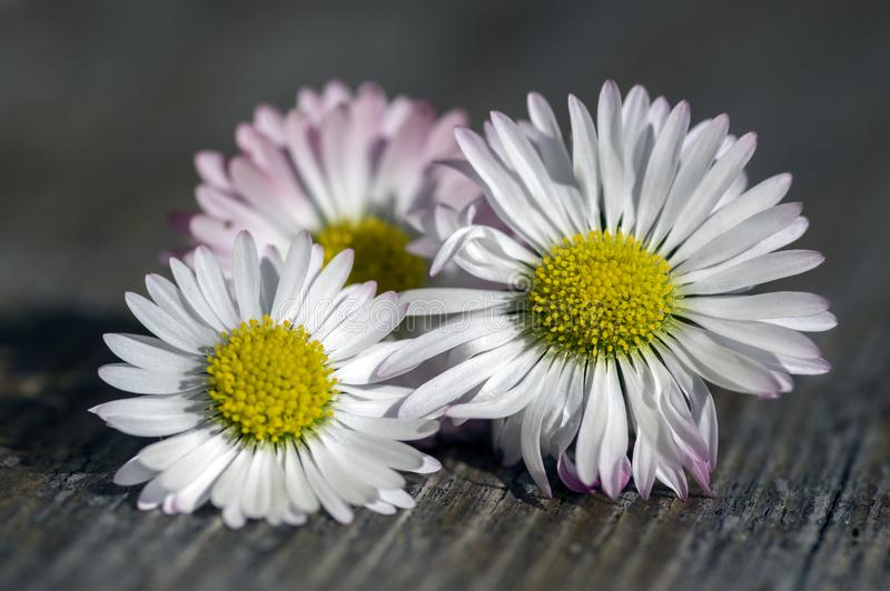 惊人的雏菊,艾里斯perennis在木桌上的头状花序,有白色桃红色瓣的开花植物和黄色中心 库存照片