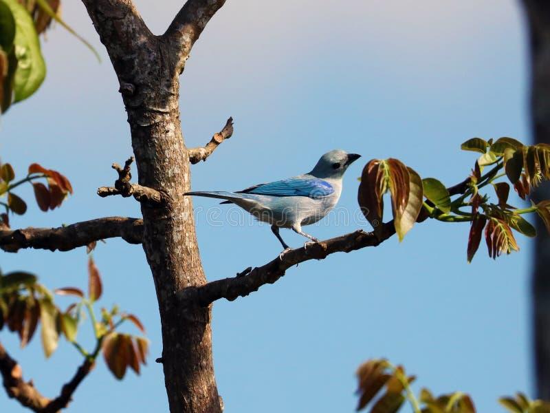 惊人的青灰色唐纳雀,从哥斯达黎加的美丽的蓝色鸟 图库摄影
