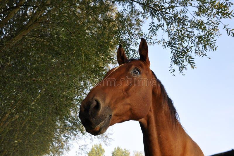惊人的马 免版税库存照片