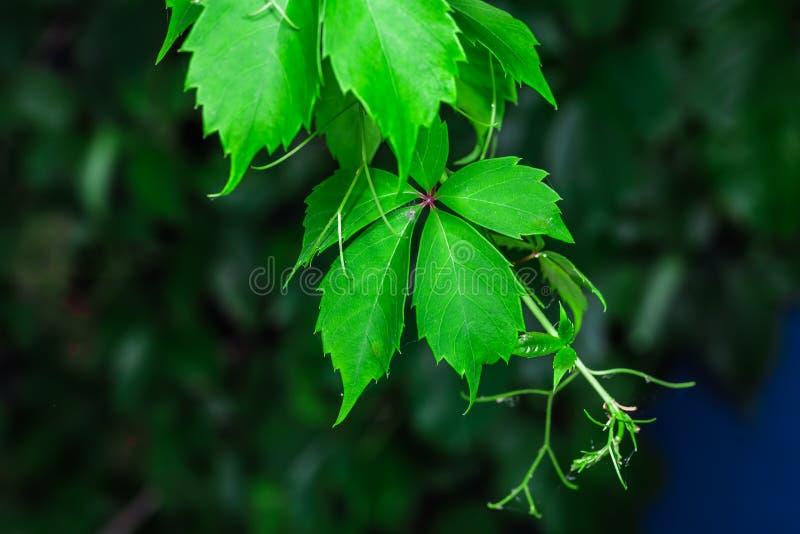 惊人的绿色叶子 免版税库存照片