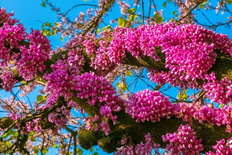 惊人的mangenta在树开花在公园 库存照片