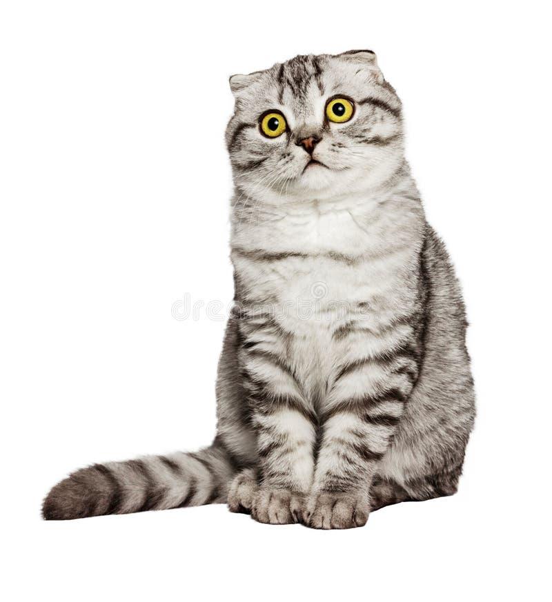 惊奇的猫苏格兰人的画象在生活,逗人喜爱的加州中折叠直接,睡觉在地面上和考虑过去故事的猫 库存照片