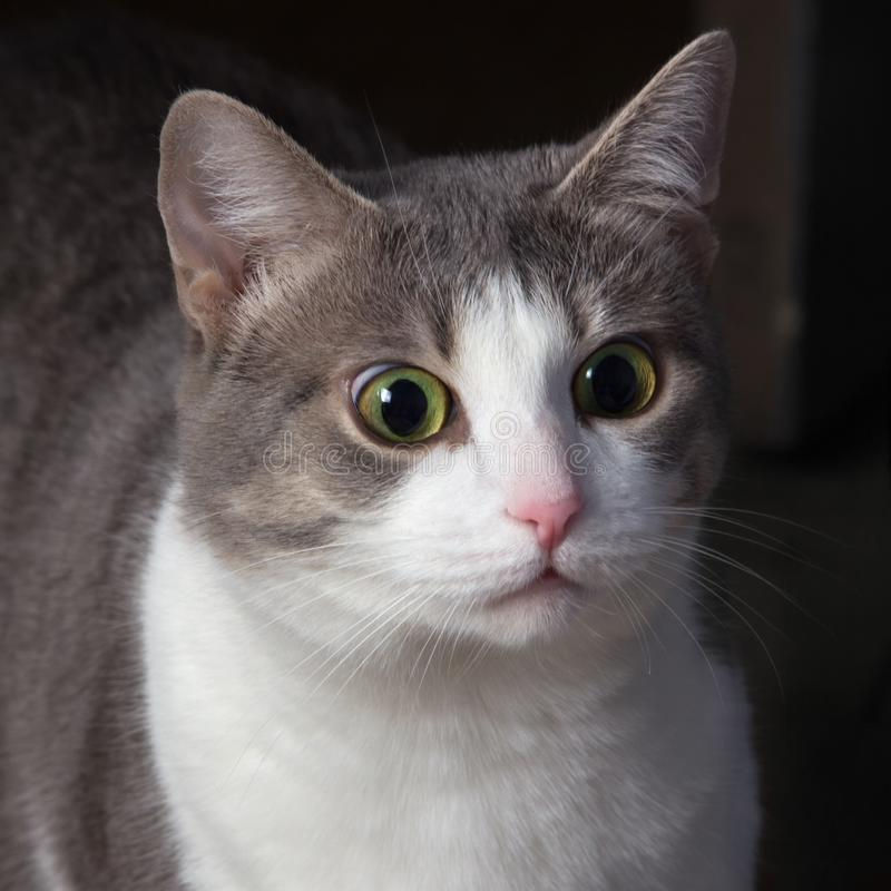 惊奇的猫,机警的猫,枪口特写镜头 震惊的奇怪的看起来 图库摄影