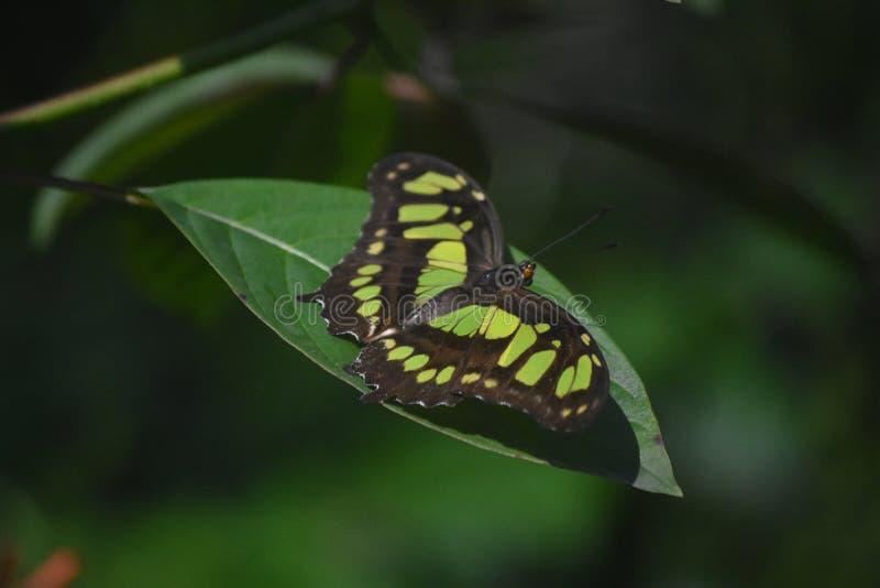 惊奇紧密看看一只绿色和黑绿沸铜蝴蝶 免版税库存照片