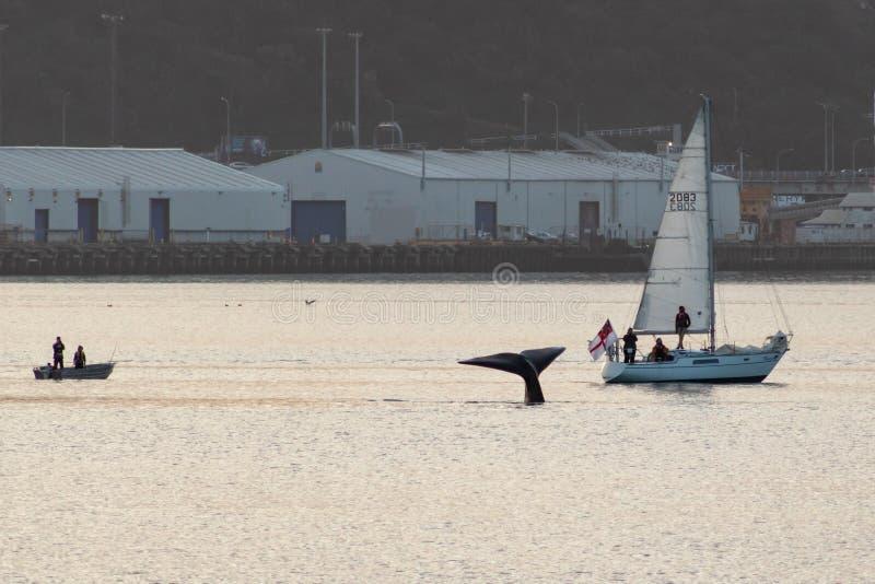 惠灵顿鲸鱼看守人,新西兰 免版税库存照片