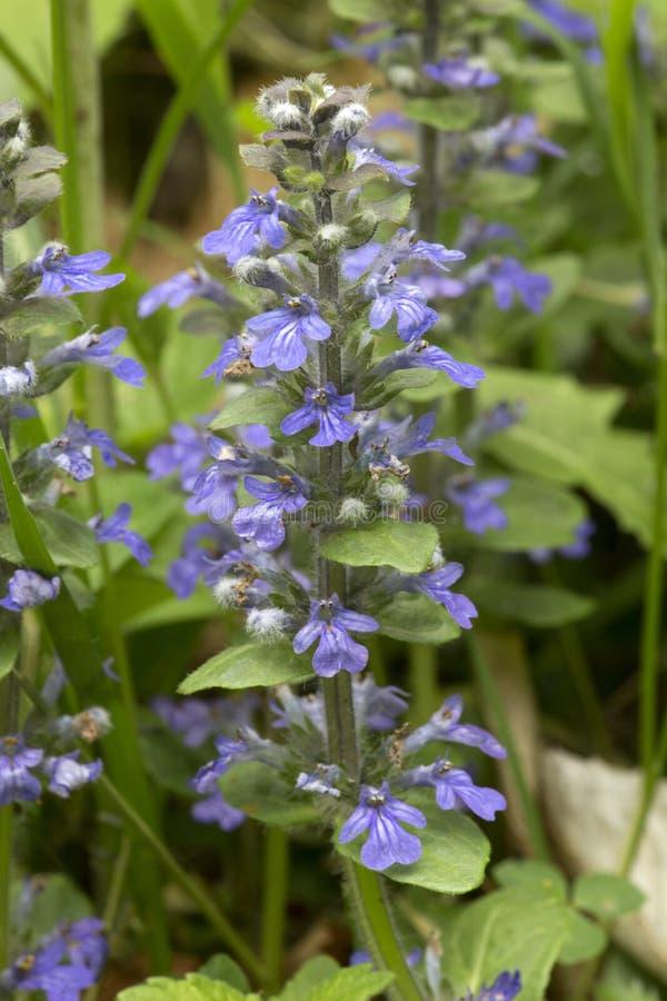 愈合所有或毛织品淡紫色花,在新罕布什尔 免版税库存图片
