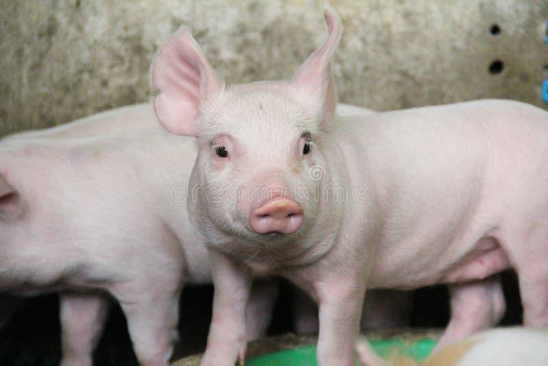 愉快和健康小猪在猪农场 免版税库存照片