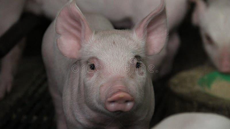 愉快和健康小猪在猪农场 库存图片