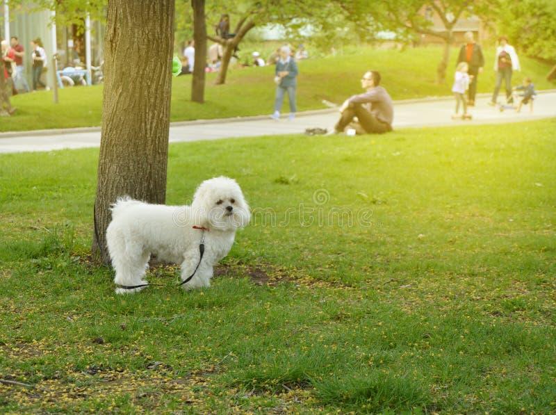 愉快和逗人喜爱的白色蓬松狗在公园 图库摄影