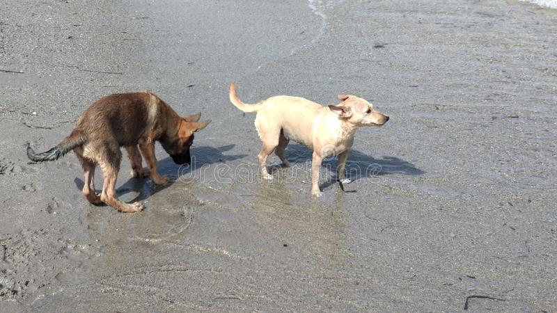 愉快地使用在海的小狗 库存图片